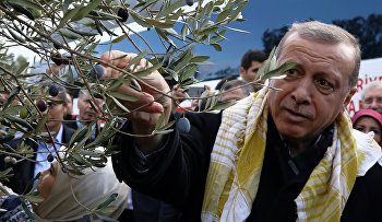 Turkey's President Recep Tayyip Erdogan collects olives in Burhaniye, Turkey, Saturday, Nov. 28, 2015